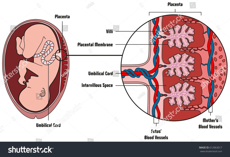 diagram of fetal ear 7 11 tierarztpraxis ruffy de  u2022diagram of fetal  ear images gallery 13a47790609