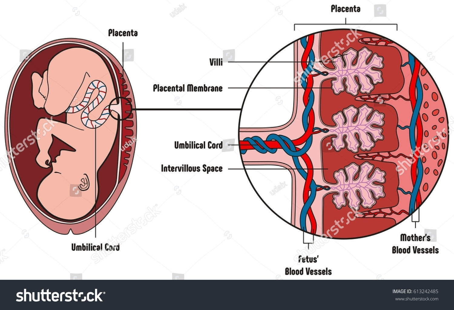Human fetus placenta anatomy diagram all stock vector royalty free human fetus placenta anatomy diagram with all part including mother blood vessels umbilical cord placental membrane ccuart Choice Image