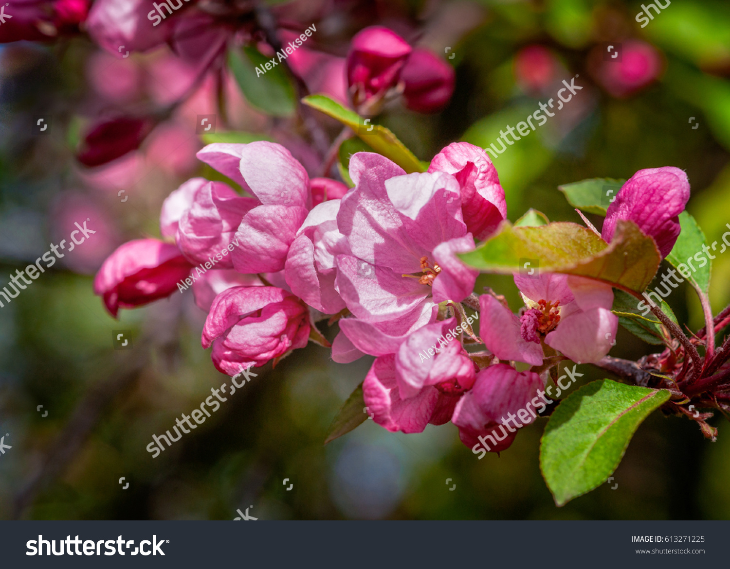 Closeup view of crabapple tree in bloom clusters or bunches of pink id 613271225 mightylinksfo
