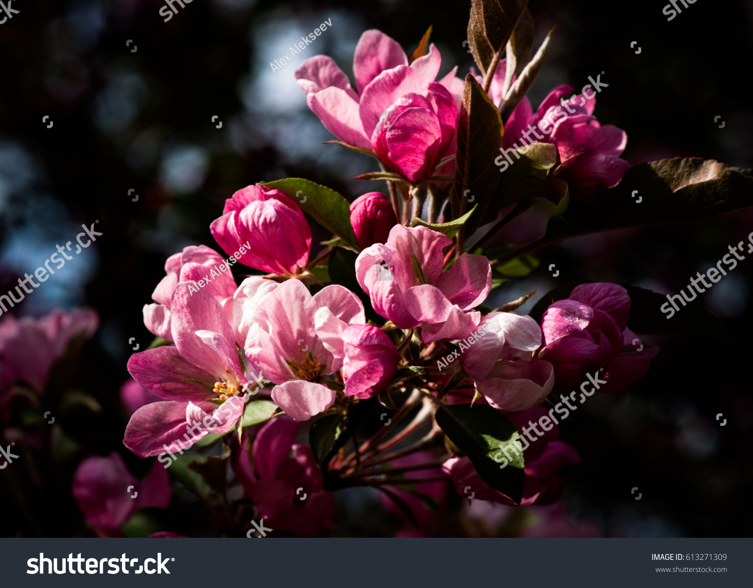 Closeup View Crabapple Tree Bloom Clusters Stock Photo Edit Now