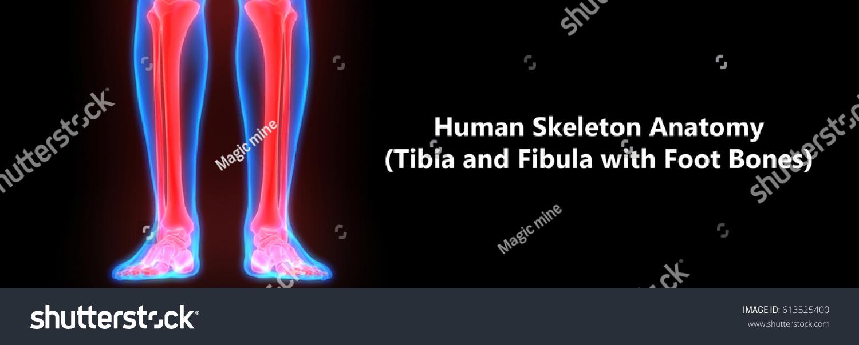 Human Skeleton Anatomy Tibia Fibula Foot Stock Illustration ...