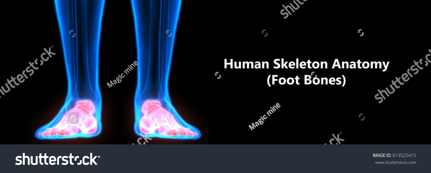 Human Skeleton Anatomy Foot Bones 3 D Stock Illustration 613525415