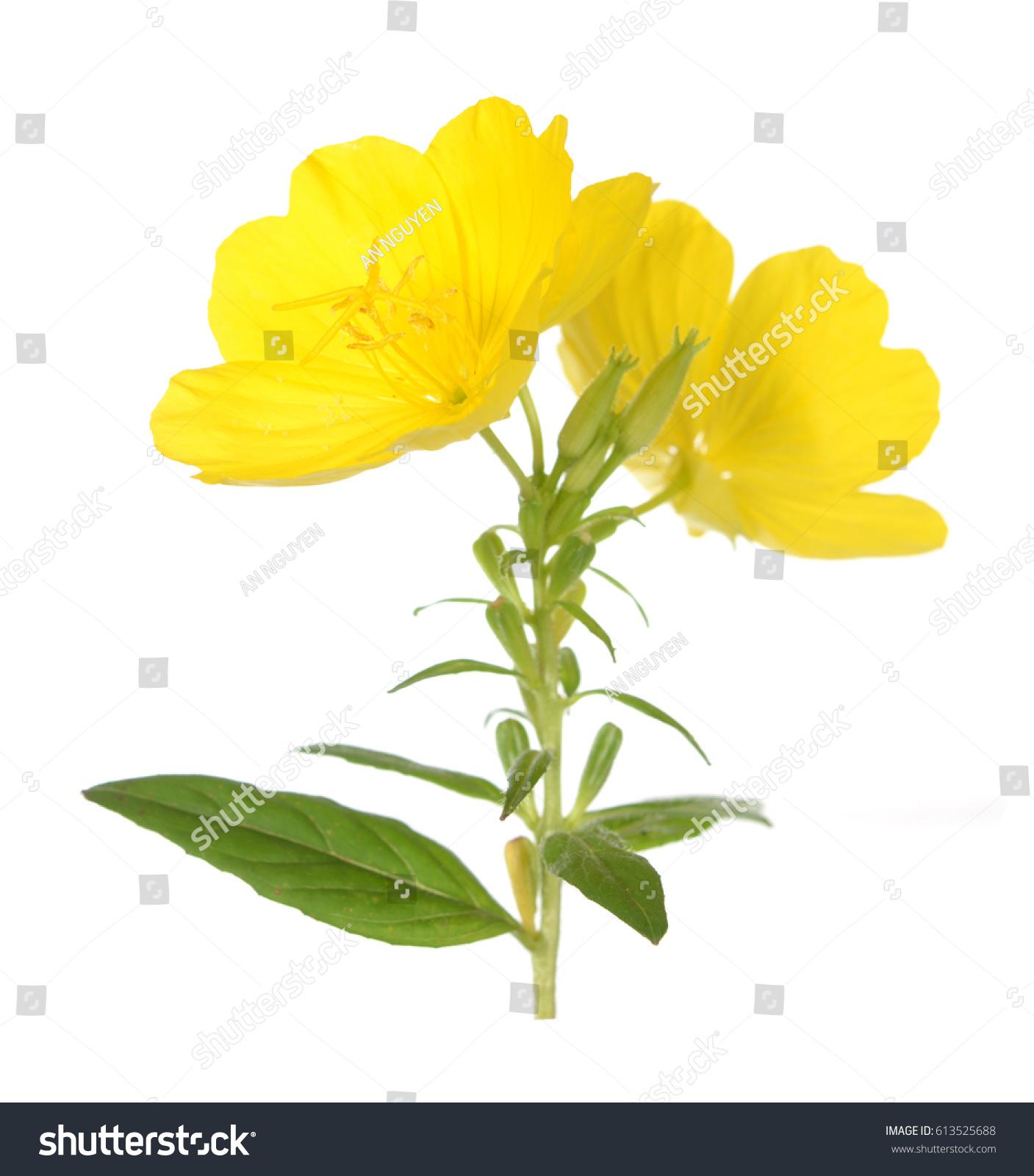 Morning Time Of Yellow Primrose Oenothera Frutcosa Flower Isolated