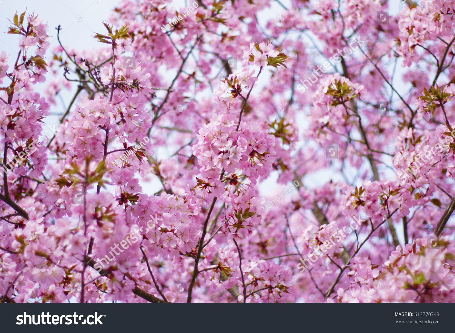 A Closeup Of One Beautiful Bright Japanese Pink Cherry Blossom