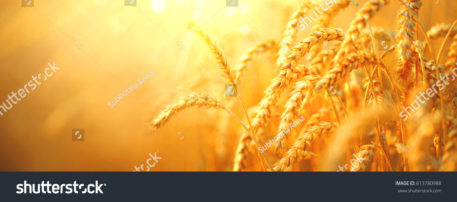 Wheat field. Ears of golden wheat close up. Beautiful Nature Sunset Landscape. Rural Scenery under Shining Sunlight. Background of ripening ears of wheat field. Rich harvest Concept. Label art design #613780988