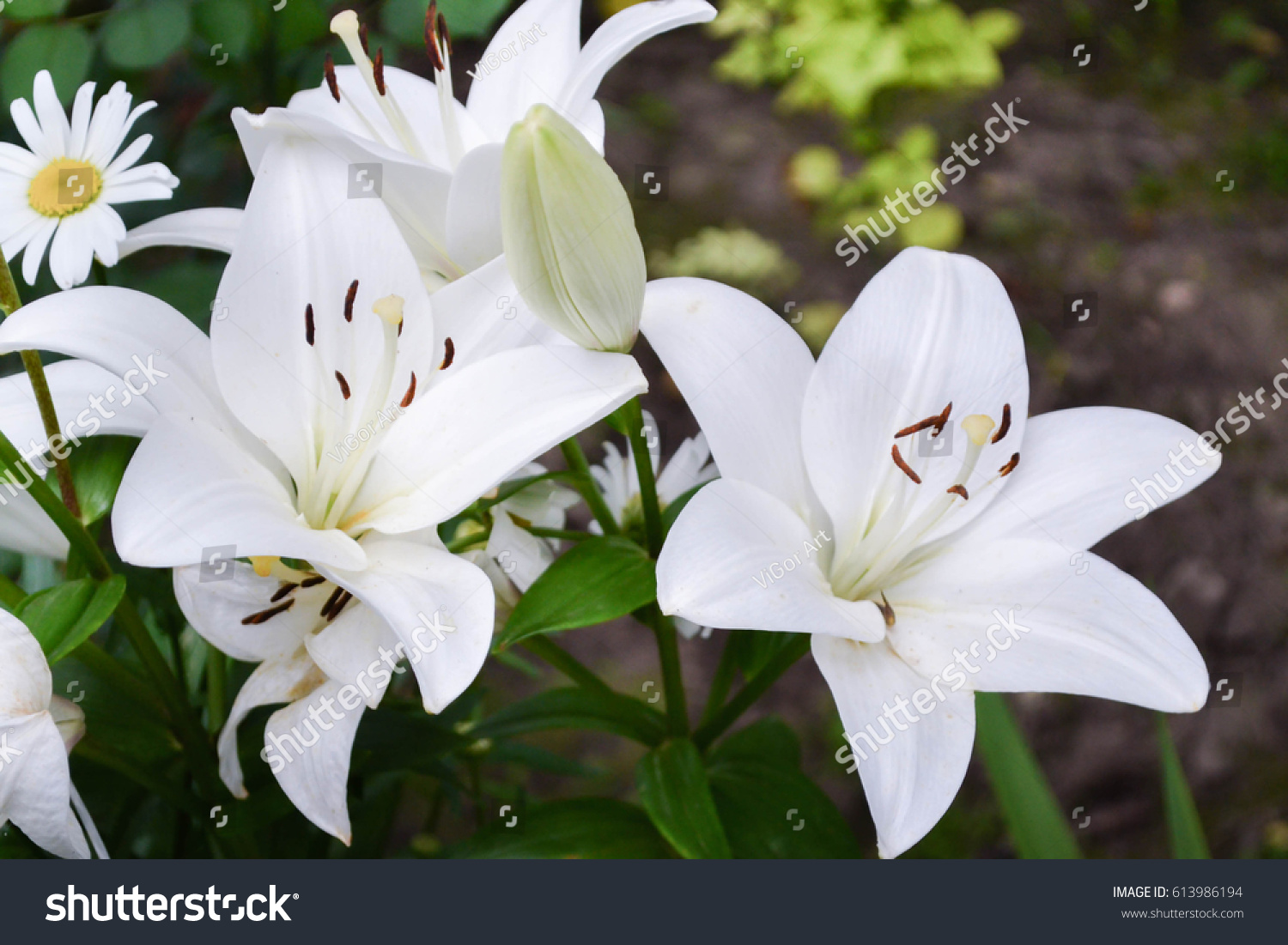 White asiatic lily flower garden beautiful stock photo edit now white asiatic lily flower in the garden beautiful nature lily flower blossom closeup petal plant izmirmasajfo
