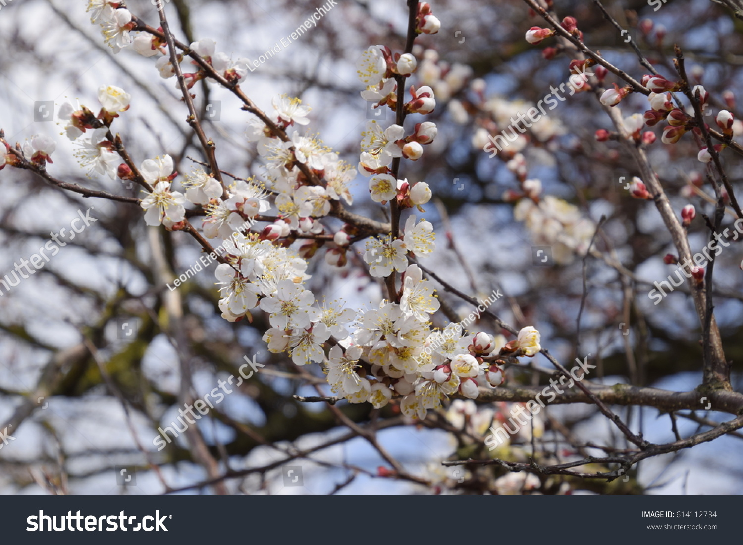 Blooming Wild Apricot In The Garden Spring Flowering Trees