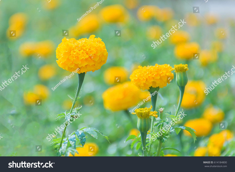 Floweryellow marigolds flowerbeautiful flowers background stock yellow marigolds flowerautiful flowers background izmirmasajfo
