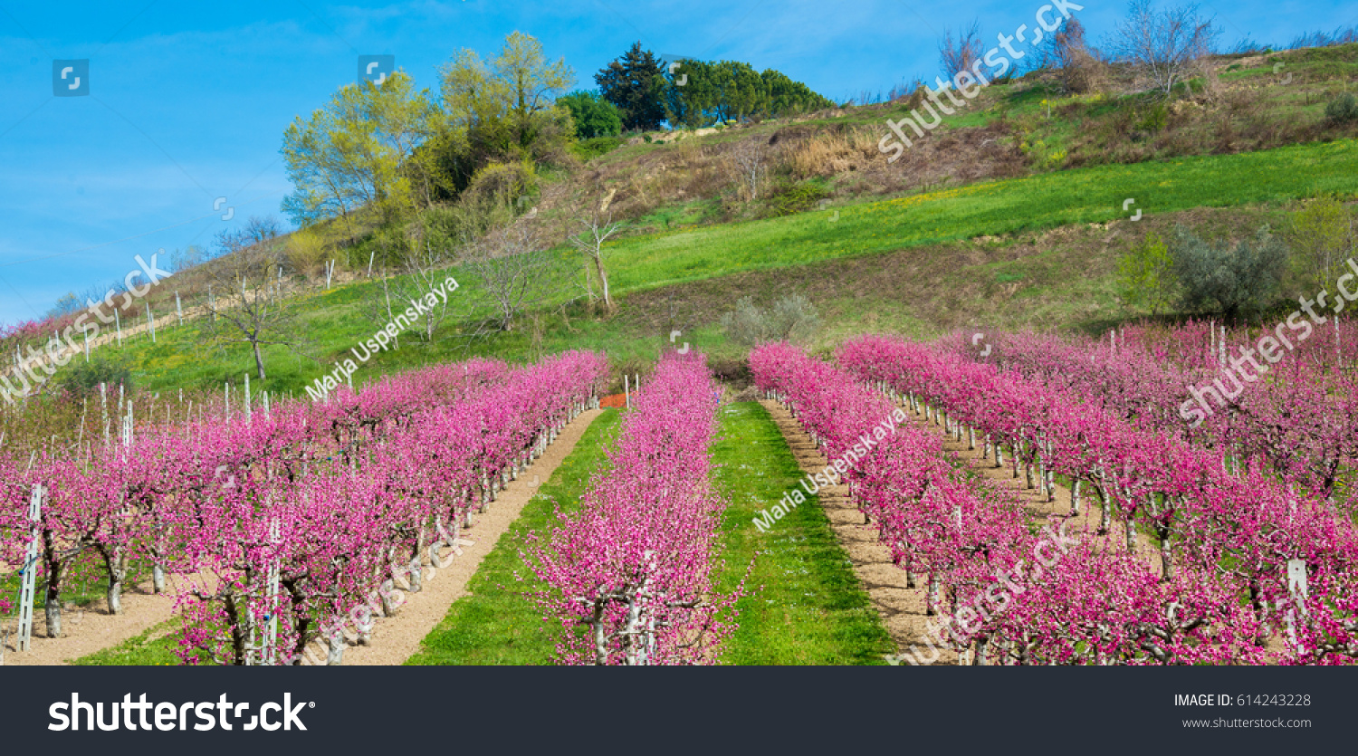 Beautiful Orchard Trees Bloom Pink Flowers Stock Photo 100 Legal