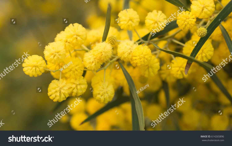 Royalty Free Acacia Bright Yellow Ball Shaped 614265896 Stock