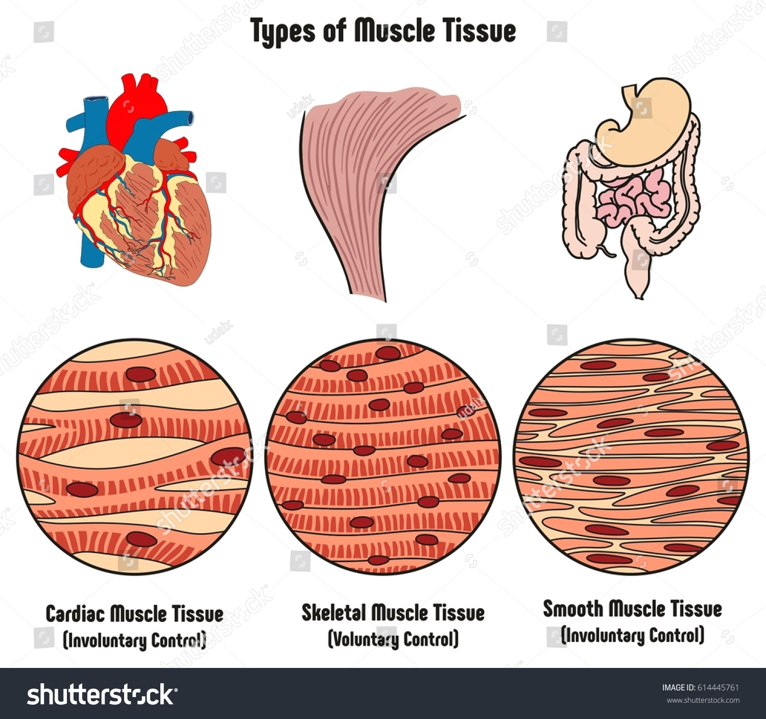 Royalty Free Stock Illustration Of Types Muscle Tissue Human Body