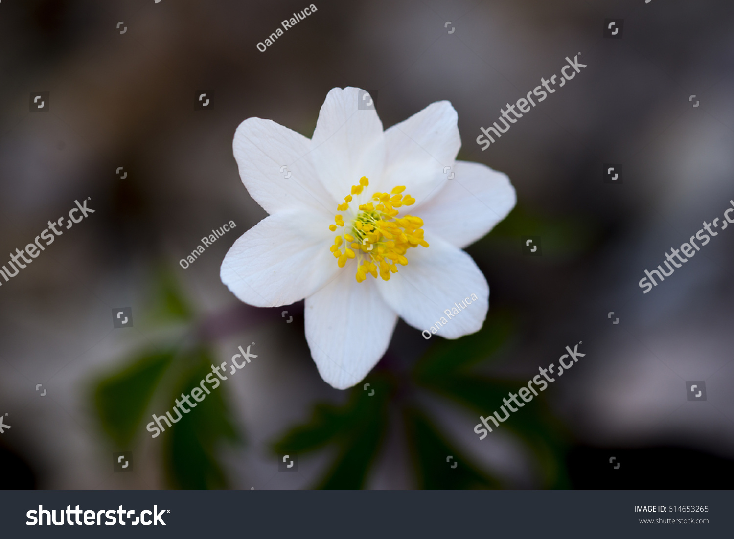 Anemone Nemorosa Is An Early Spring Flowering Plant Native To Europe