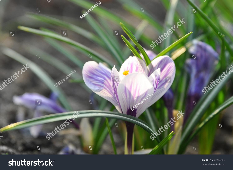 White Purple Crocus Flower Growing On Stock Photo Edit Now