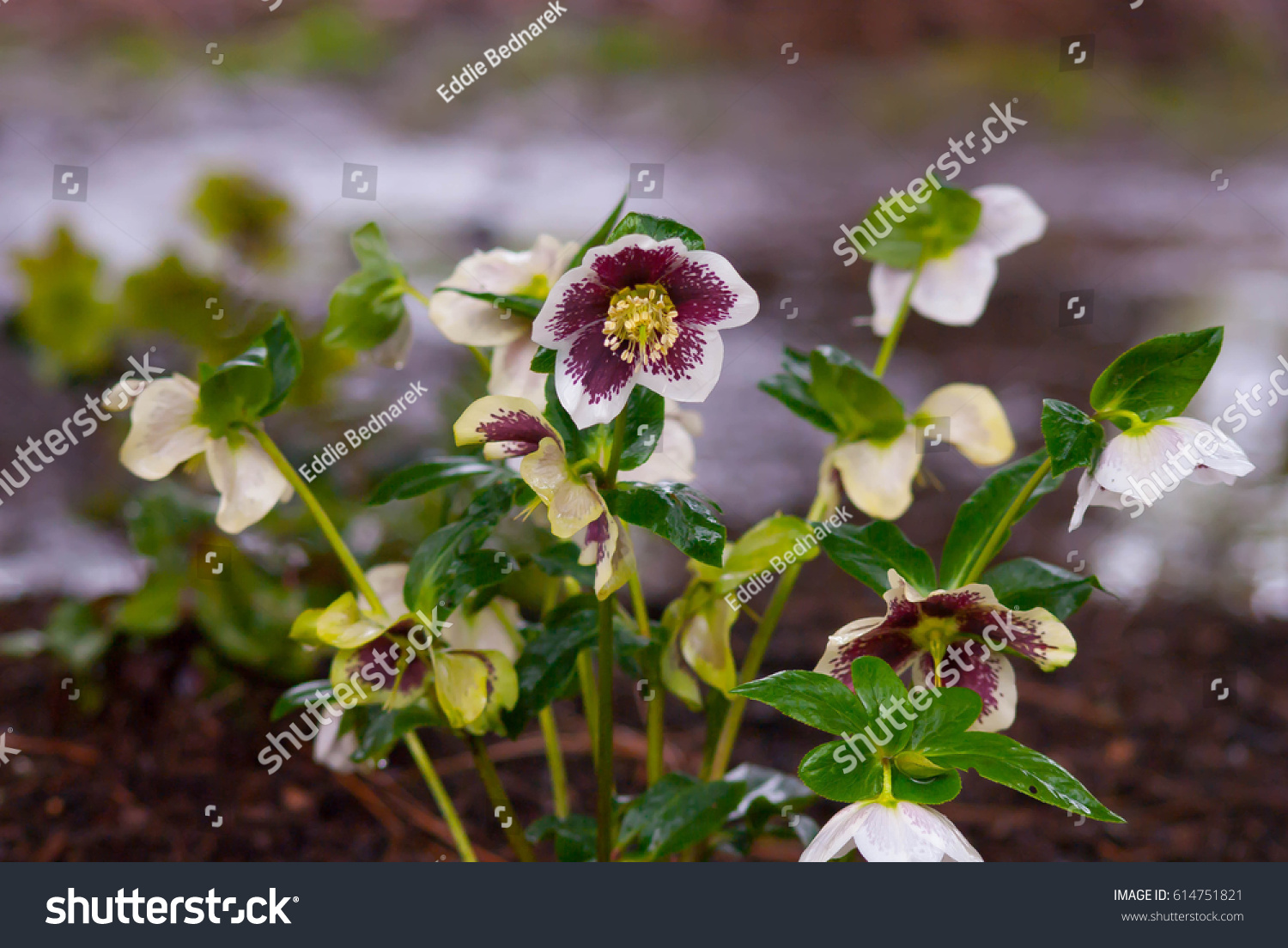 Several White Purple Flower Yellow Center Stock Photo Royalty Free