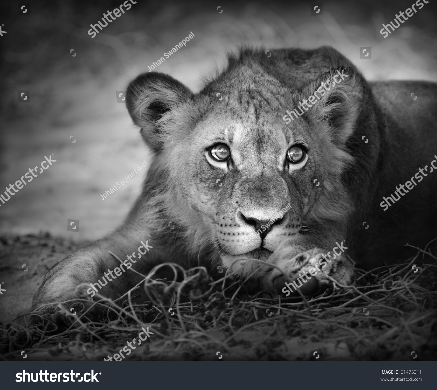 Close-up portrait of a young lion; panthera leo #61475311
