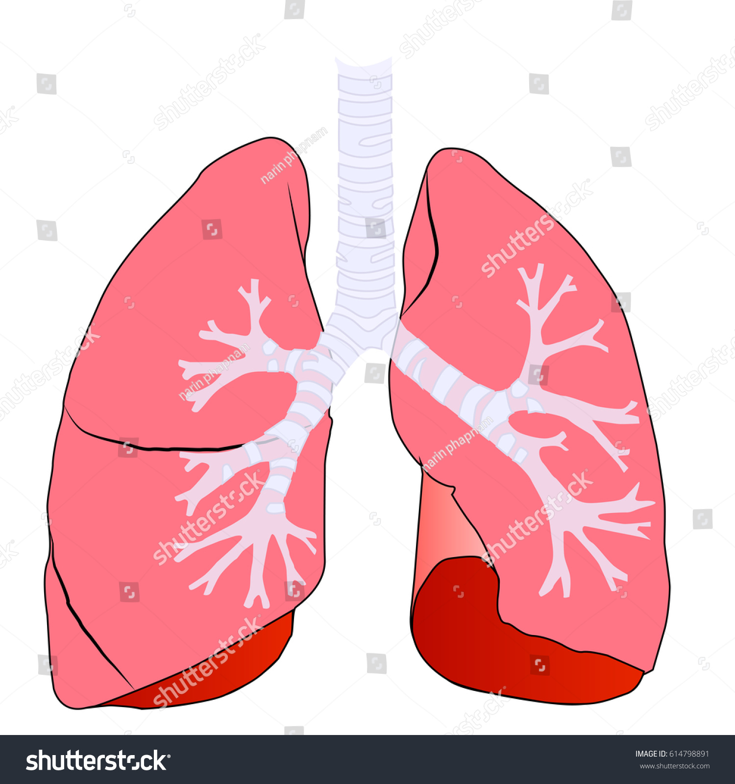 Anatomy Left Right Lung Human Vector Stock Vector 614798891 ...