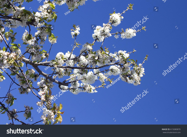 Cherry blossom tree blue sky france stock photo royalty free cherry blossom tree with blue sky france izmirmasajfo