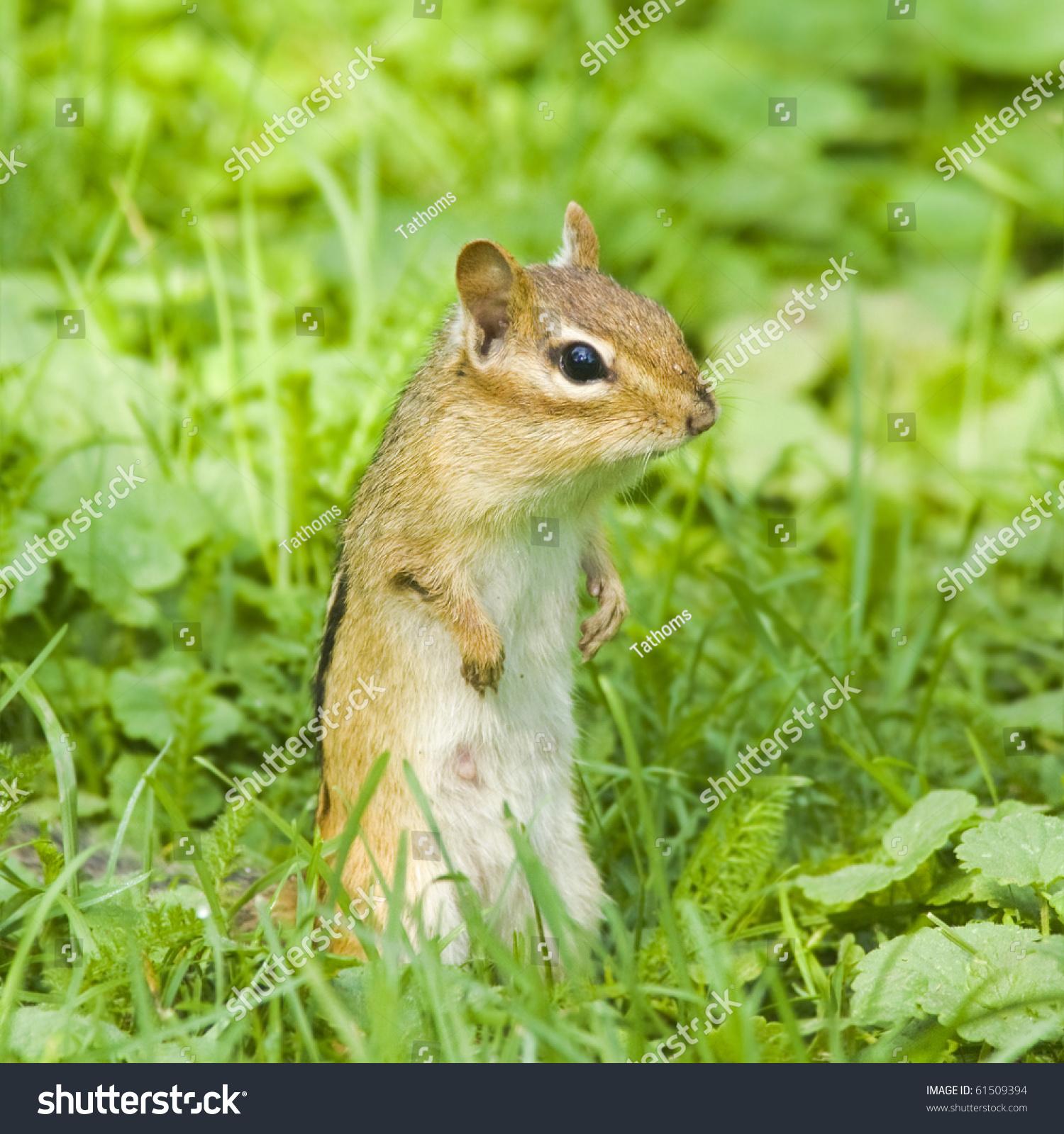 Chipmunk is bagging for food