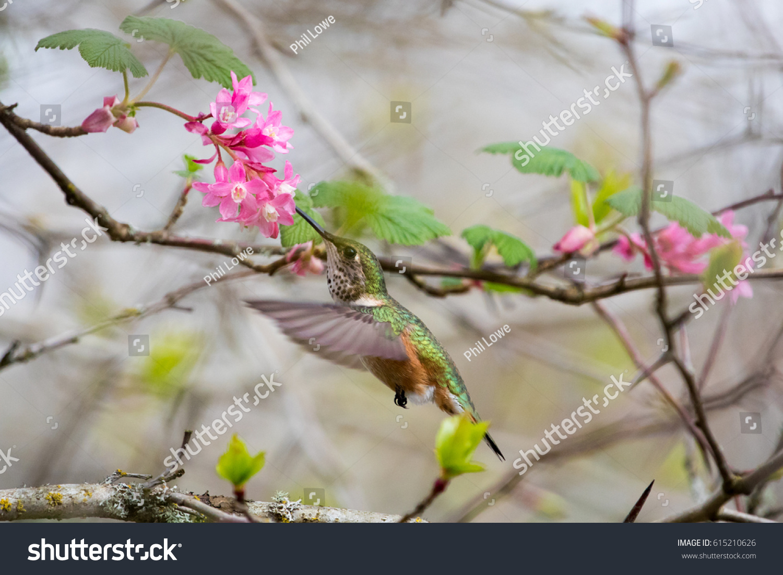 stock-photo-female-rufous-hummingbird-se