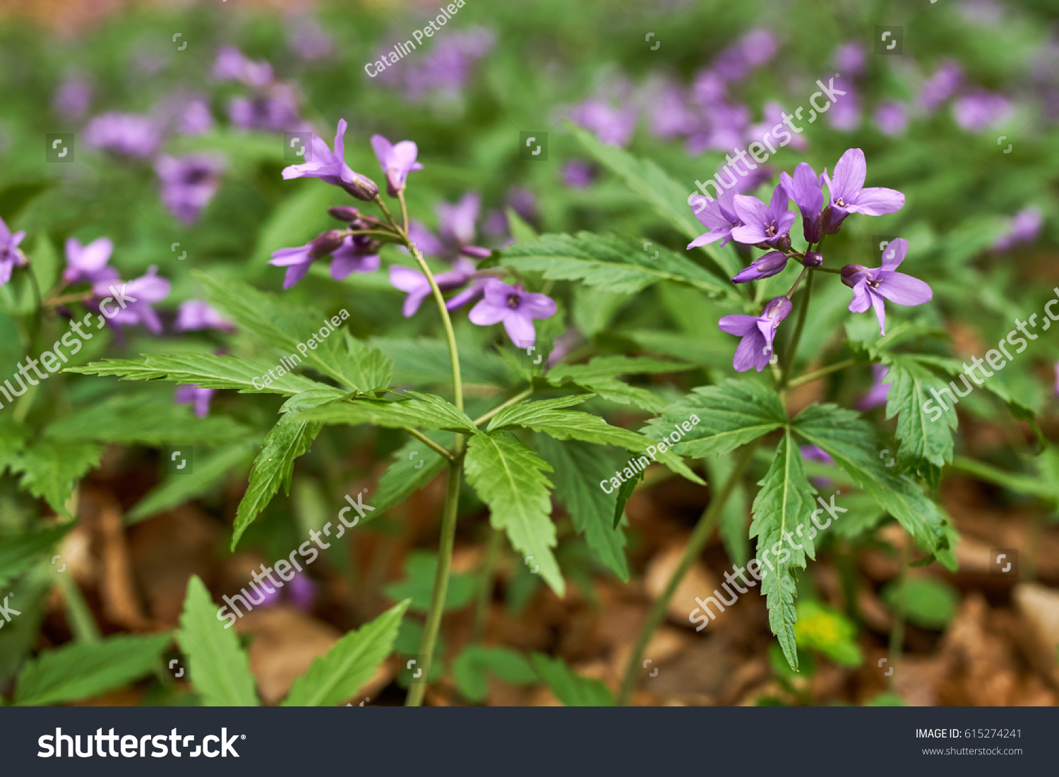Purple Flowers And Green Leaves Of Fragrant Thai Basil Herb Ez Canvas