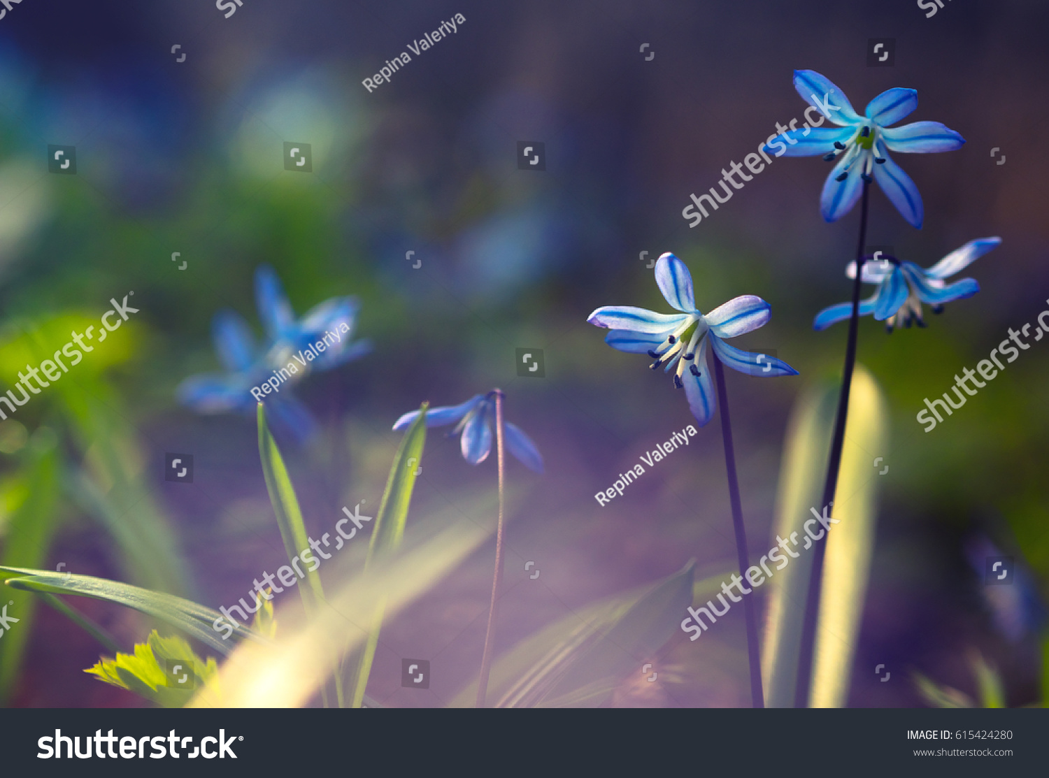 Blue Flowers Scilla Squill April Sunlight Stock Photo Edit Now