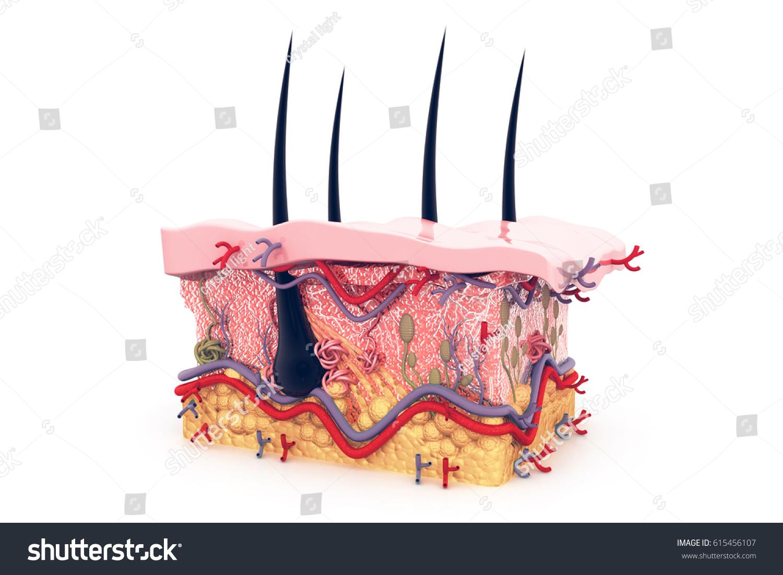 Human Skin Anatomy 3 D Illustration Stock Illustration 615456107