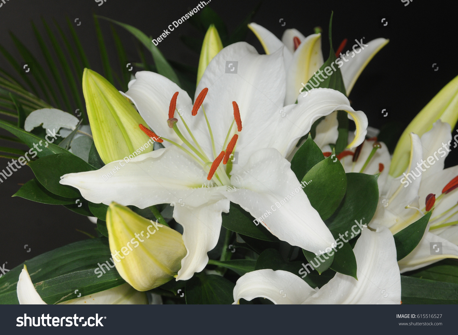 White Star Gazer Lilly Flowers Blooms Stock Photo Edit Now