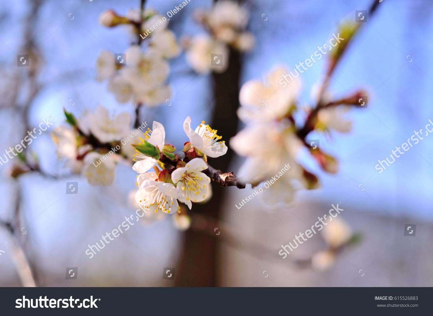 Apricot Flowers Spring Flowering Trees Ez Canvas