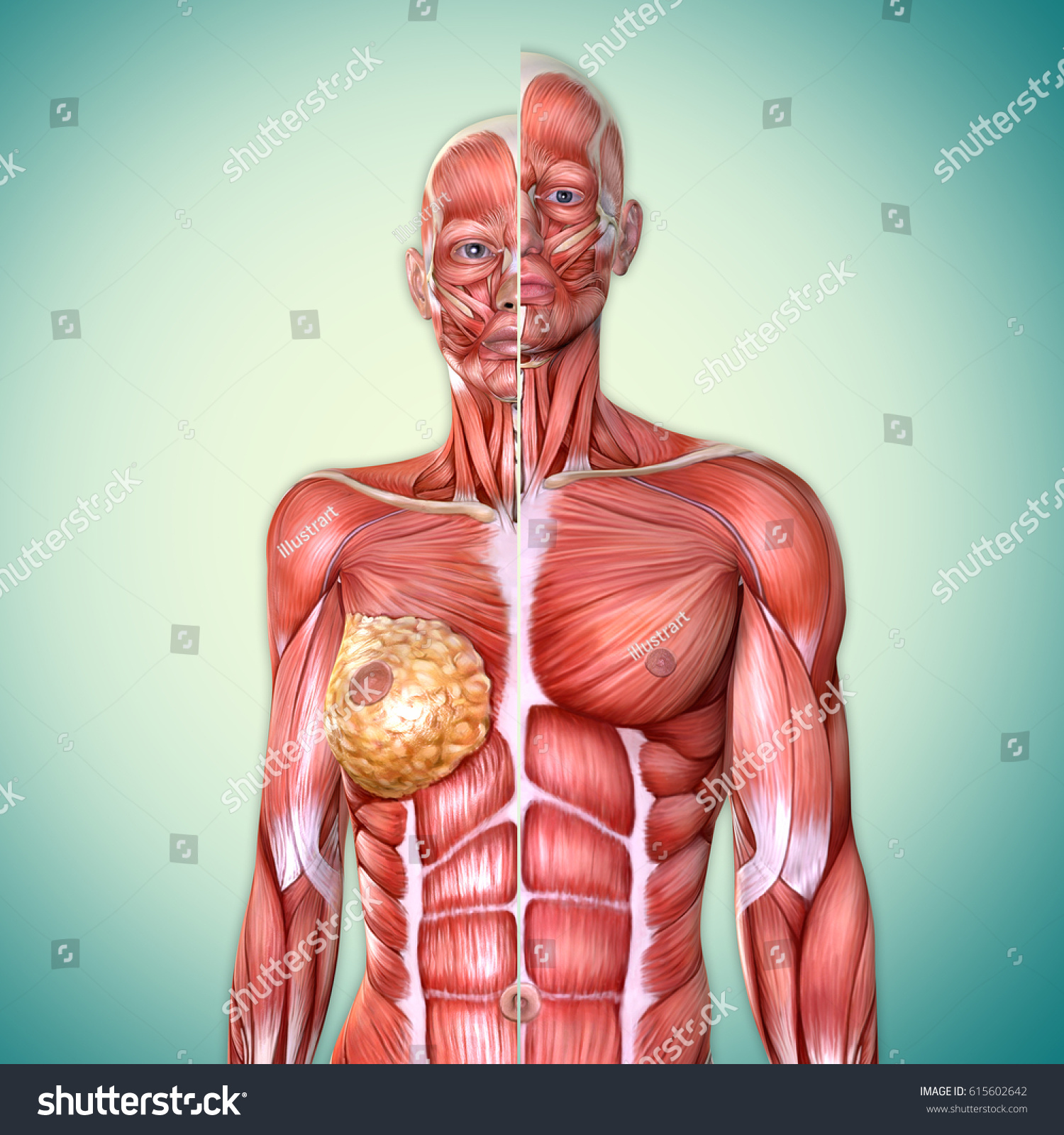 3 D Male Female Torso Anatomy Together Stock Illustration 615602642 ...