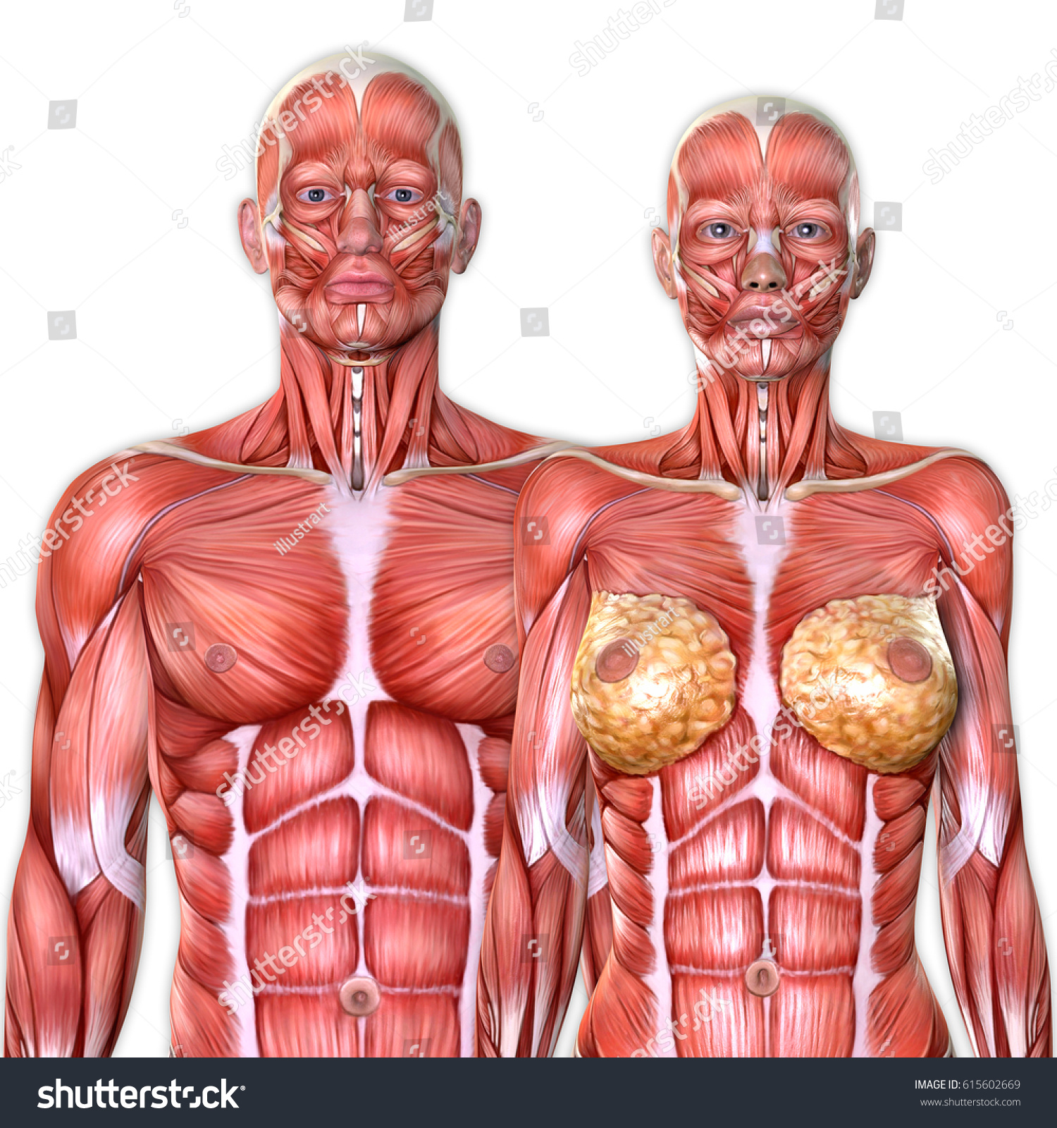 3 D Male Female Torso Anatomy Together Stock Illustration 615602669 ...