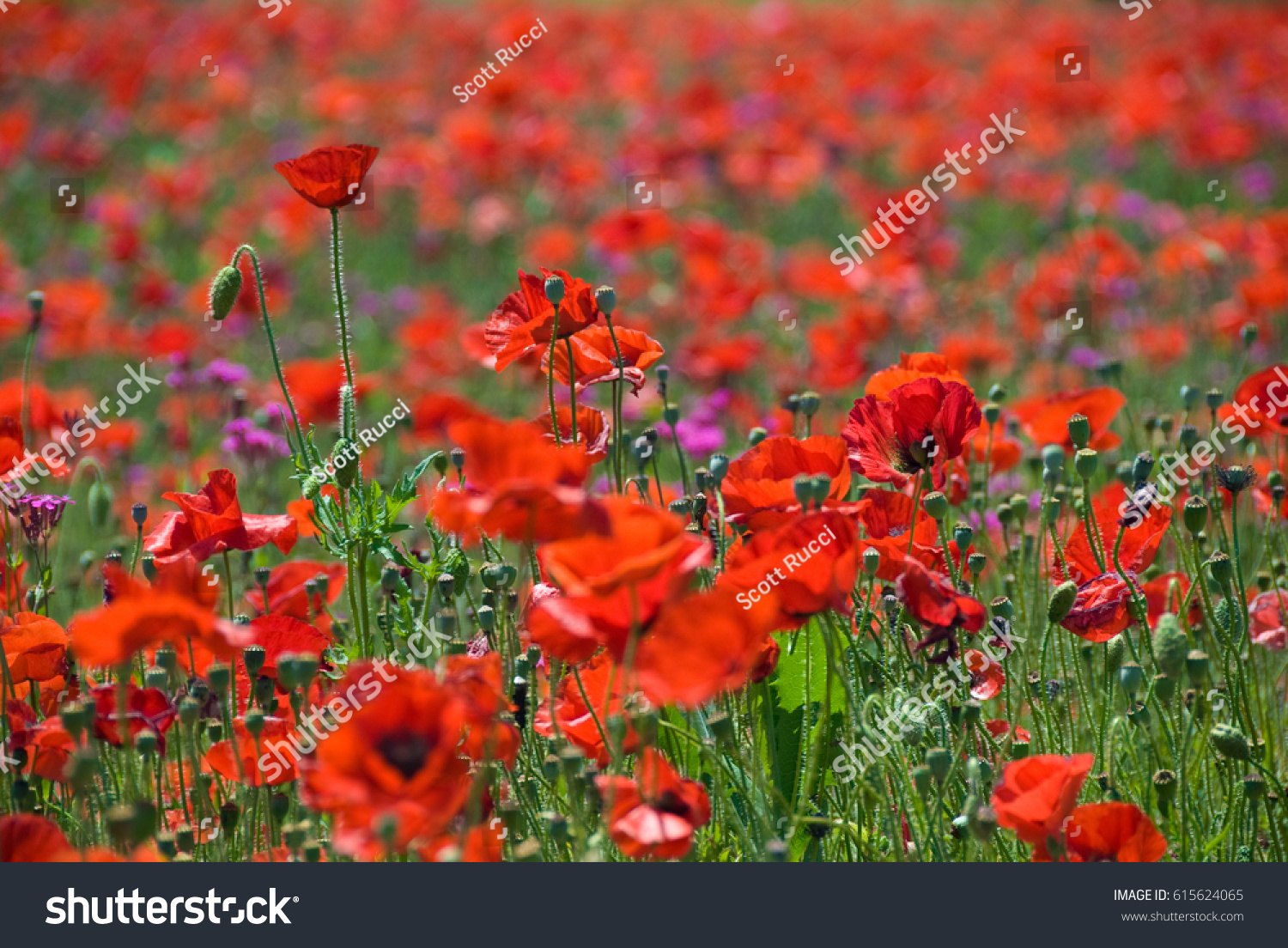 Endless Flowers A Field Of Vivid Red Poppies Extending Into The