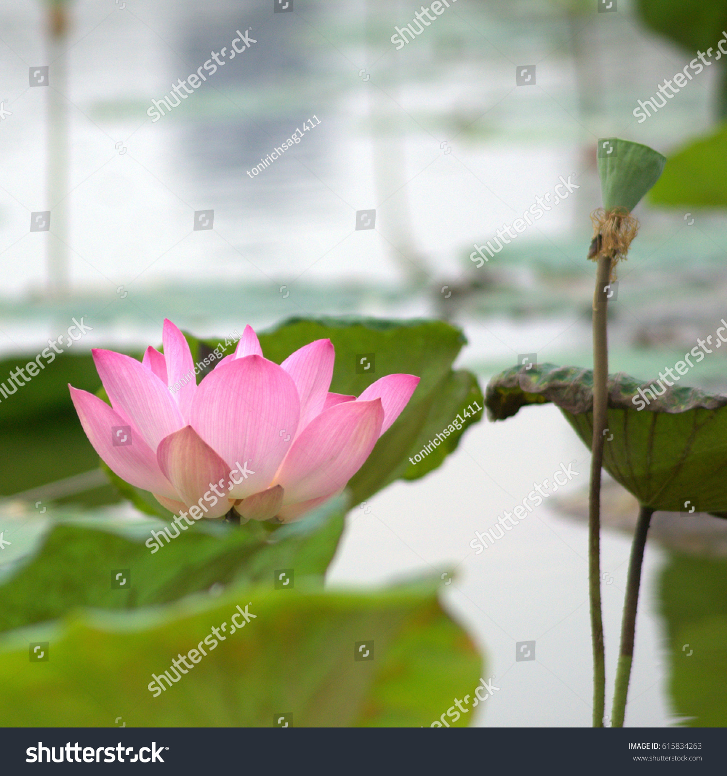Beautiful lotus flower garden complimented by stock photo edit now the beautiful lotus flower garden complimented by the rich colors of the deep blue water surface izmirmasajfo
