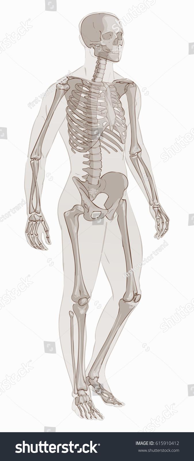 Human Body Parts Man Skeletal Anatomy Stock Illustration 615910412