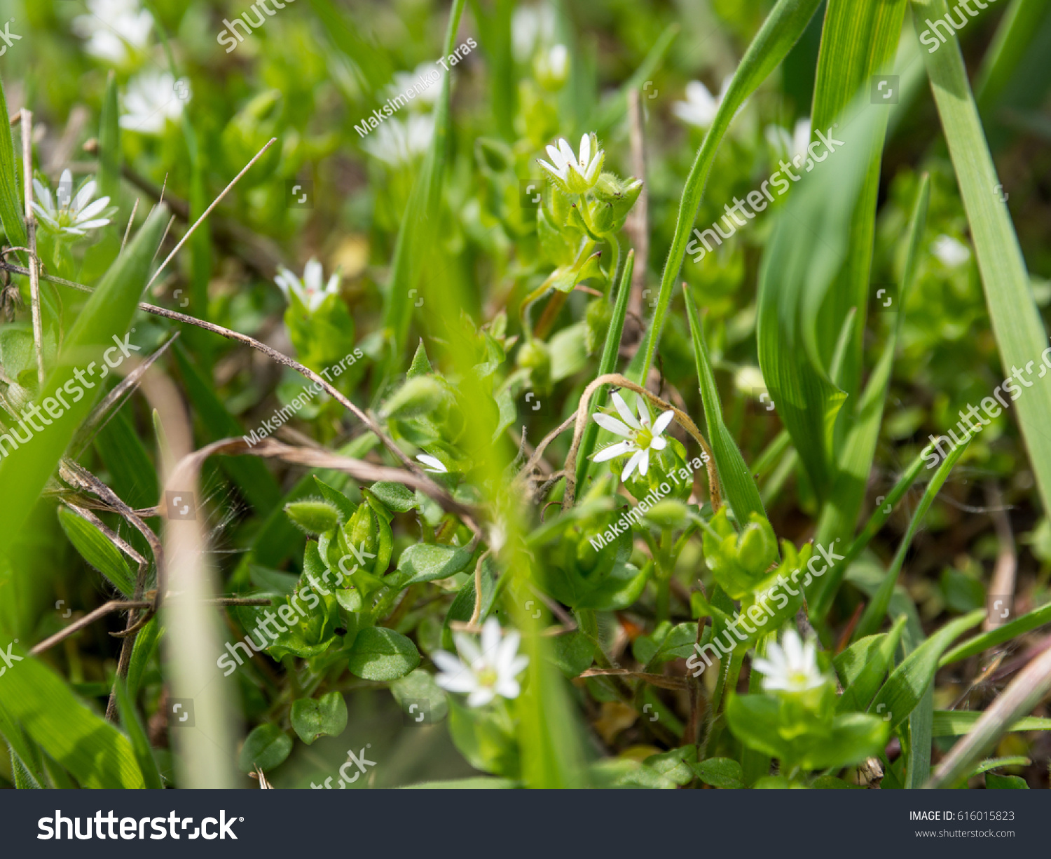 Small White Flowers Green Grass First Stock Photo Royalty Free