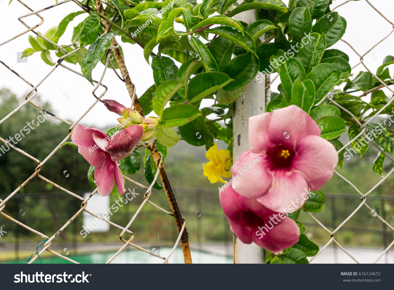 Climbing Plant Pink Flowers Tropics Philippines Stock Photo Edit