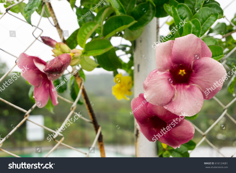 Climbing plant pink flowers tropics philippines stock photo royalty climbing plant pink flowers in the tropics in the philippines mightylinksfo