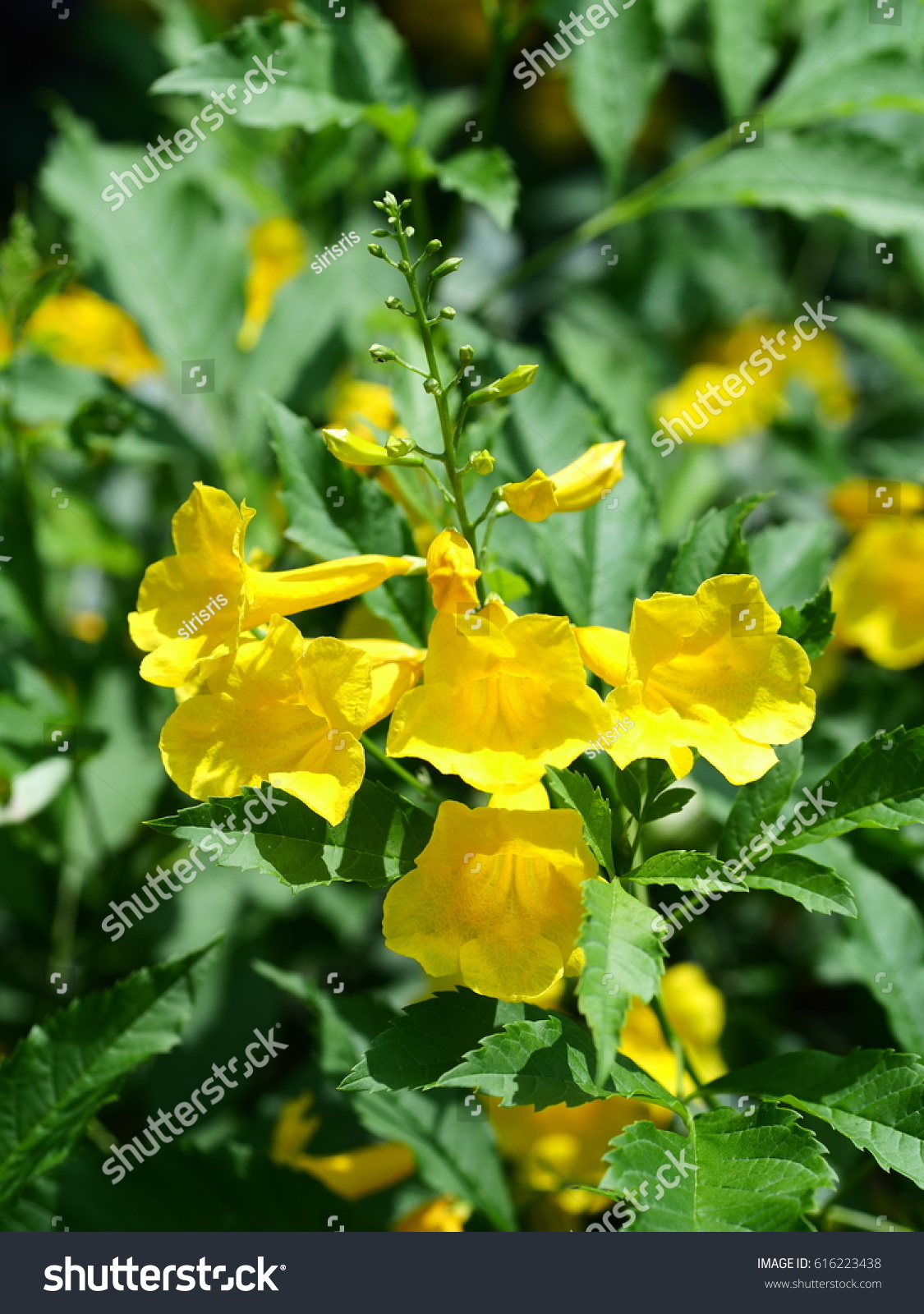 Yellow Elder Trumpetbush Trumpetflower Cluster Of Bright Yellow