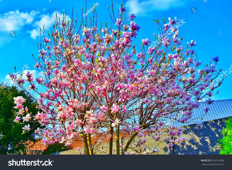 Magnolia Soulangeana Saucer Magnolia Pink Flower Stock Photo Edit