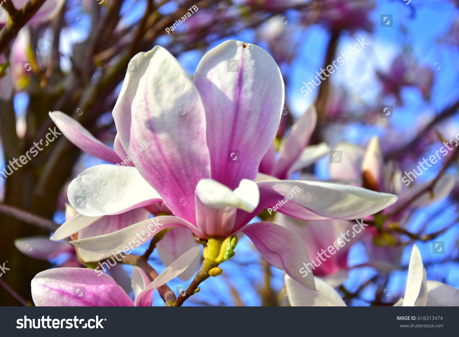 Magnolia soulangeana saucer magnolia pink flower stock photo edit magnolia soulangeana saucer magnolia pink flower it is a beautiful deciduous tree mightylinksfo
