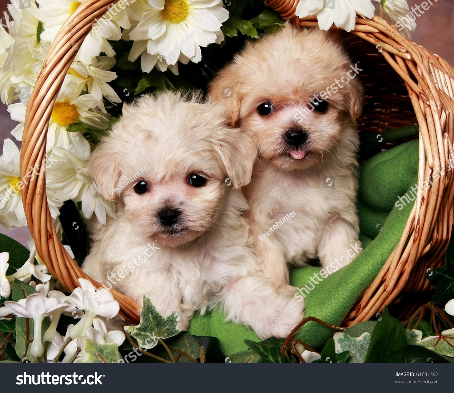 Two Adorable Little Puppies Basket Stock Photo Edit Now 61631392