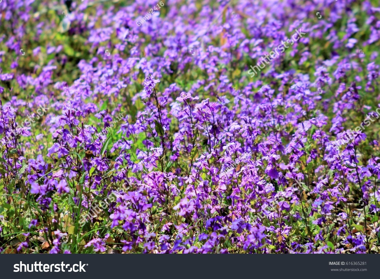 Group Small Purple Flowers Orychophragmus Violaceus Stock Photo