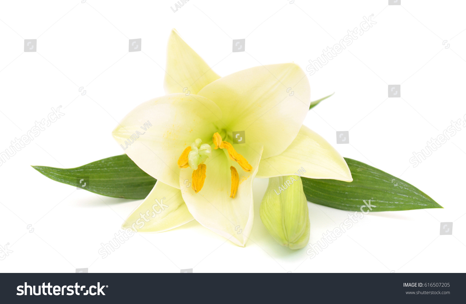 Beautiful white easter lily flower isolated stock photo 616507205 beautiful white easter lily flower isolated on white background izmirmasajfo