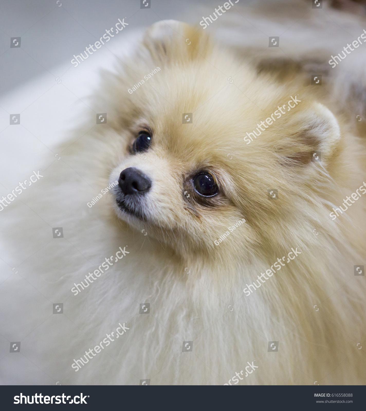 Dog Pomeranian Cream Color Pomeranian Small Stock Photo Edit Now