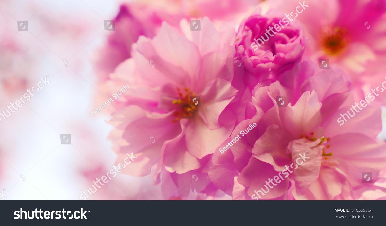 Sakura Spring Flowers Spring Blossom Background Stock Photo Royalty