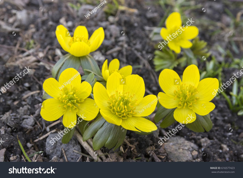 Detail Eranthis Hyemalis Early Spring Flowers Stock Photo Edit Now