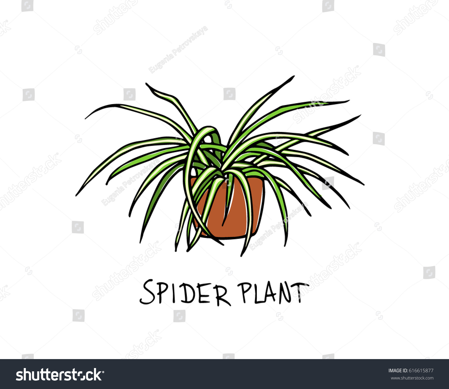 Vector Illustration Hand Drawn Spider Plant Stock Vector Royalty Free 616615877