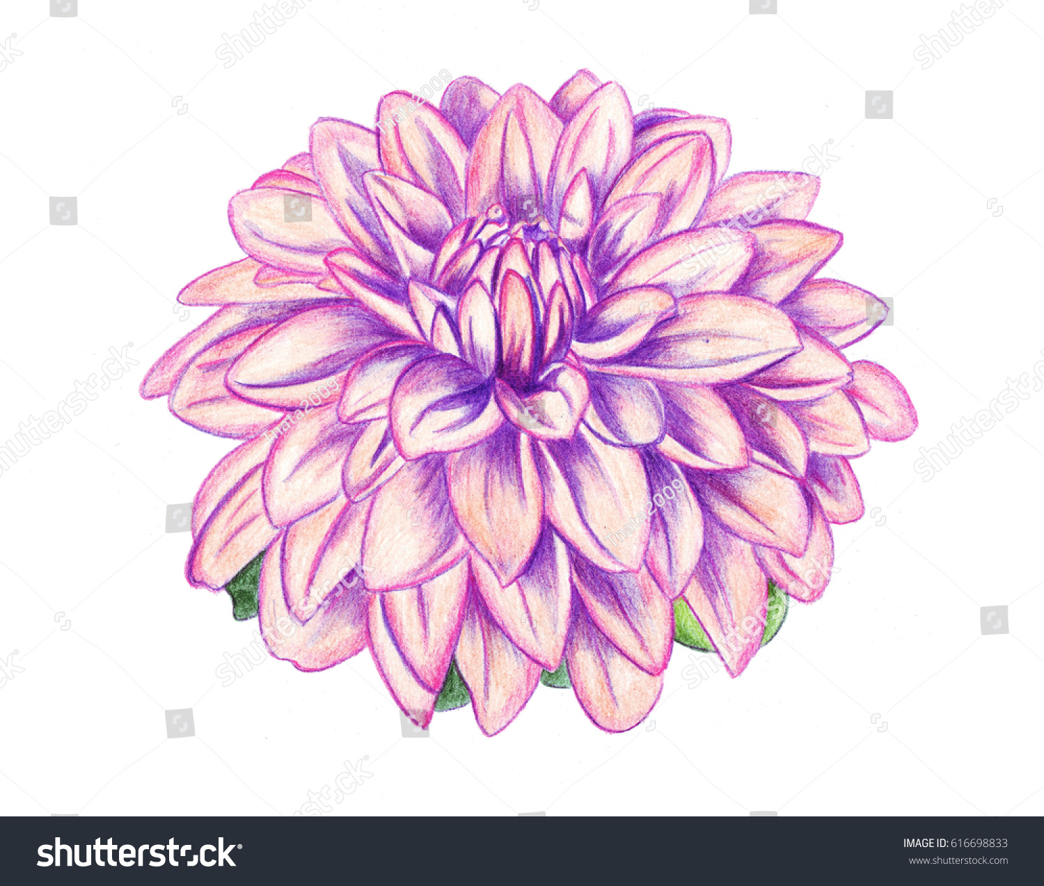 Illustration Drawing Colored Pencils Realistic Dahlia Stock