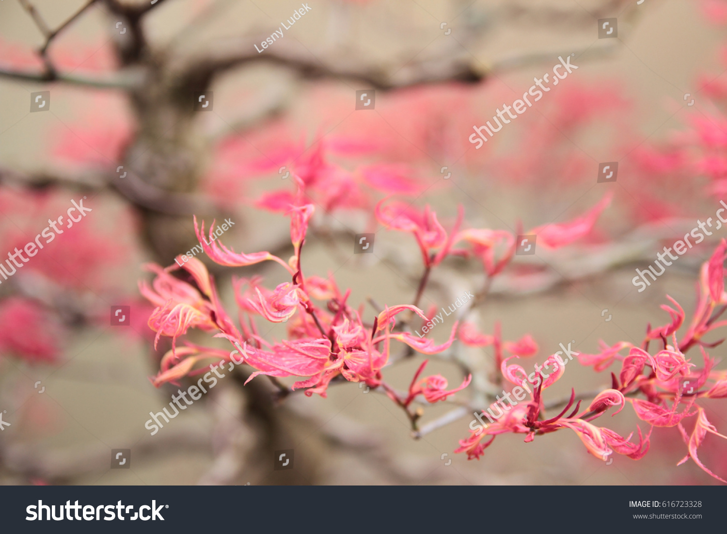 Superb Pink Maple Bonsai Tree Wires Shaping Stock Photo Edit Now Wiring 101 Ferenstreekradiomeanderfmnl
