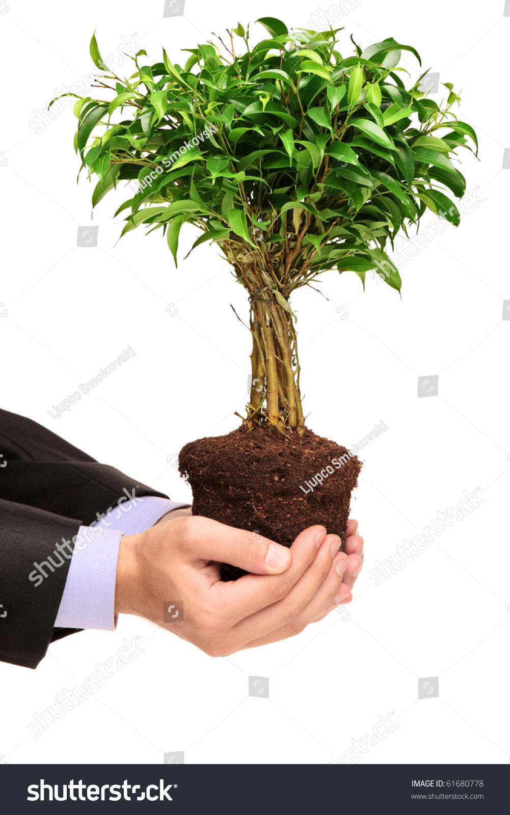 a hand holding a plant ficus benjamin ficus benjamina natasja isolated on white background. Black Bedroom Furniture Sets. Home Design Ideas
