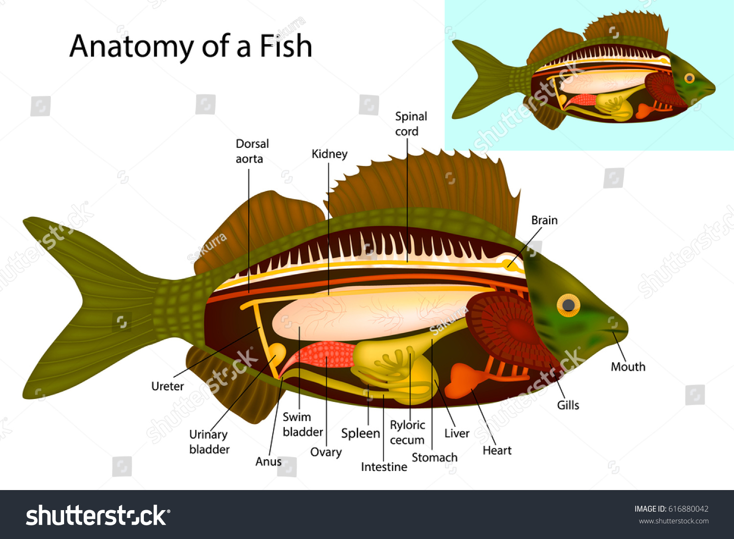 Anatomy Fish Fish Internal Organs Vector Stock Vector 616880042 ...